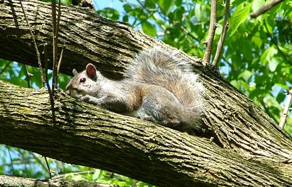 squirrel_tree
